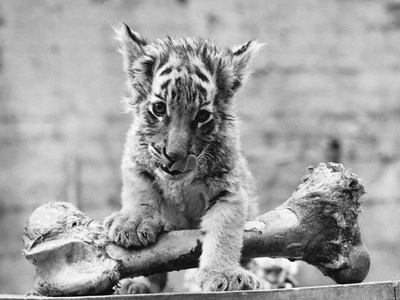 Tiger Cub with Large Bone Photographic Print