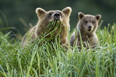Brown Bear and Cub, Katmai National Park, Alaska Photographic Print by Paul Souders