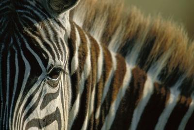 Close-Up of Plains Zebra Fotografisk tryk af Paul Souders