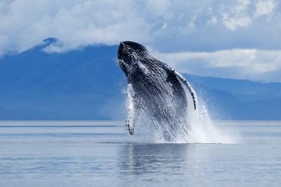 Breaching Humpback Whale, Alaska Photographic Print by Paul Souders