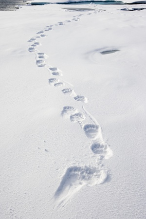 Polar Bear Tracks in Fresh Snow at Spitsbergen Island Stampa fotografica di Paul Souders