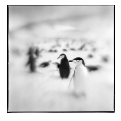 Chinstrap Penguins, Antarctica Photographic Print by Paul Souders