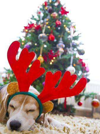 Sleeping Beagle Dog Wearing Christmas Antlers Photographic Print by David Harrigan