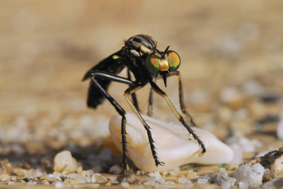 Robber Fly (Saropogon Sp.) Hunting for Aerial Prey from a Beach Mat Covered with Sand and Pebbles Photographic Print by Nick Upton