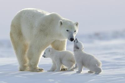 Polar Bear (Ursus Maritimus) and Cubs Fotografisk tryk af David Jenkins