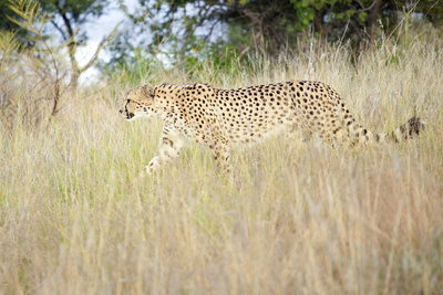 Cheetah Walking Through Tall Grass, Amani Lodge, Near Windhoek, Namibia, Africa Photographic Print by Lee Frost