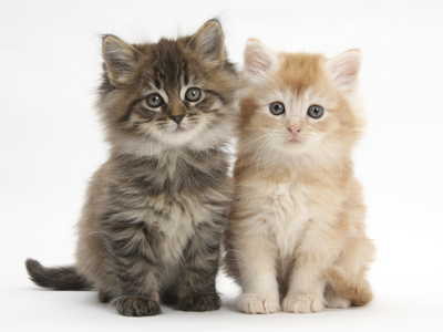 Maine Coon Kittens, 7 Weeks, Showing Different Colours Photographic Print by Mark Taylor
