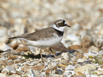 Little Ringed Plover (Charadrius Dubius) on the Edge of Gravel Pit, Hampshire, England, UK, April Photographic Print by Richard Steel