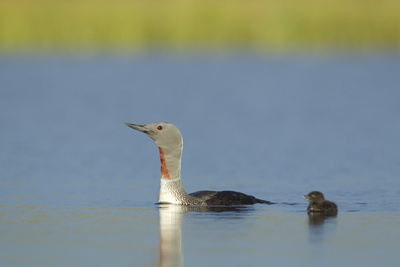 Red-Throated Diver (Gavia Stellata) Adult and Young Chick on Breeding Loch, Scotland, UK, July Photographic Print by Mark Hamblin