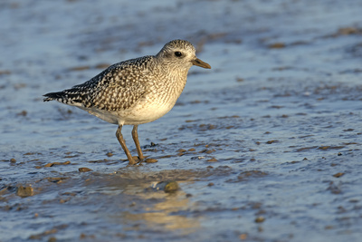 Grey Plover (Pluvialis Squatarola) in Winter Plumage, the Wash, Norfolk, England, UK, December Photographic Print by Chris Gomersall