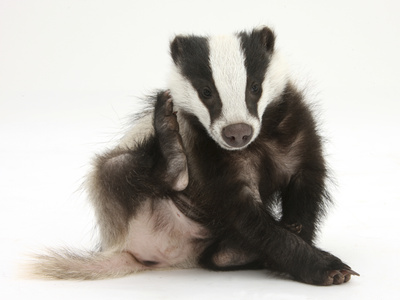 Young Badger (Meles Meles) Scratching Himself Photographic Print by Mark Taylor