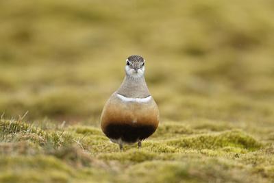 Male Eurasian Dotterel in Breeding Habitat, Grampian Mountains, Cairngorms Np, Scotland, UK Photographic Print by Mark Hamblin