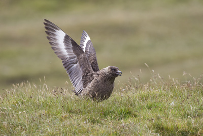 Great Skua (Stercorarius Skua) Displaying, Shetland Isles, Scotland, UK, July Photographic Print by Peter Cairns