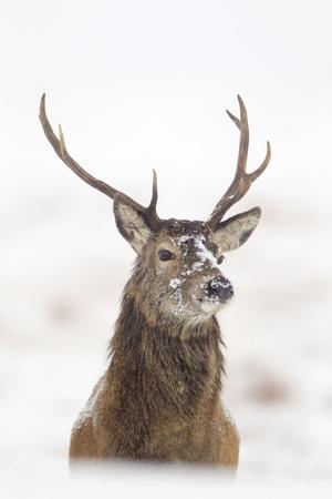 Red Deer Stag (Cervus Elaphus) Portrait in Snowy Moorland, Cairngorms Np, Scotland, UK, December Fotografisk tryk af Mark Hamblin