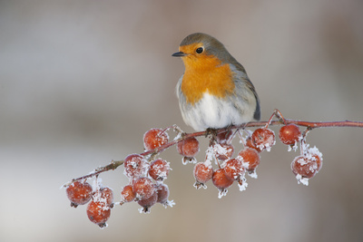 Adult Robin (Erithacus Rubecula) in Winter, Perched on Twig with Frozen Crab Apples, Scotland, UK Photographic Print by Mark Hamblin