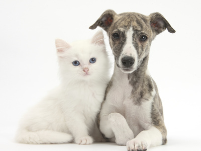 Brindle-And-White Whippet Puppy, 9 Weeks, with White Maine Coon-Cross Kitten Photographic Print by Mark Taylor