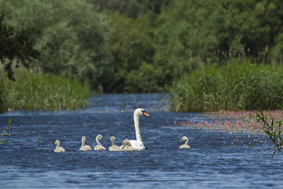 Mute Swan (Cygnus Olor) and Cygnets on Water, Westhay Moor Swt Reserve, Somerset Levels, UK Photographic Print by Guy Edwardes