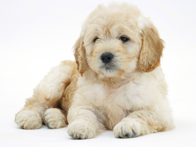 Miniature Goldendoodle Puppy (Golden Retriever X Poodle Cross) 7 Weeks, Lying Down Photographic Print by Mark Taylor