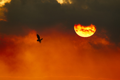Silhouette of Short-Eared Owl (Asio Flammeus) in Flight at Dusk, Lincolnshire, UK, March Photographic Print by Ben Hall