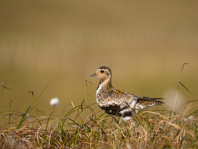 Golden Plover (Pluvialis Apricaria) in Breeding Plumage, Shetland Islands, Scotland, UK, May Photographic Print by Andrew Parkinson