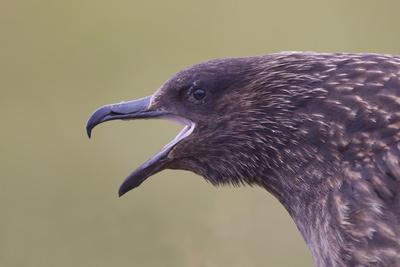Great Skua (Stercorarius Skua), Shetland Isles, Scotland, UK, July Photographic Print by Peter Cairns