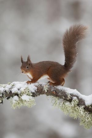 Red Squirrel (Sciurus Vulgaris) on Snowy Branch in Forest, Cairngorms Np, Scotland, UK, December Fotografisk tryk af Peter Cairns