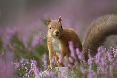 Red Squirrel (Sciurus Vulgaris) in Flowering Heather. Inshriach Forest, Scotland, UK, September Fotografisk tryk af Pete Cairns