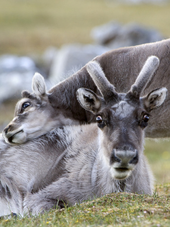 Young Svalbard Reindeer Rubbing its Head on Adults Back, Svalbard, Norway, July Photographic Print by de la