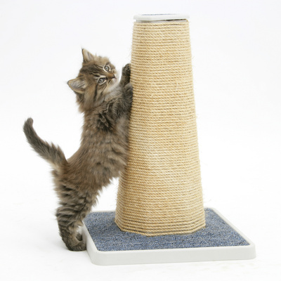 Maine Coon Kitten, 7 Weeks, Using a Scratch Post Photographic Print by Mark Taylor