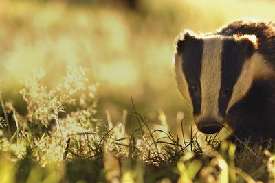 Badger (Meles Meles) Sub-Adult Backlit in Evening Light, Derbyshire, UK Photographic Print by Andrew Parkinson