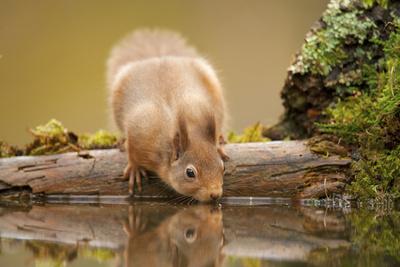 Red Squirrel (Sciurus Vulgaris) Drinking from Woodland Pool, Scotland, UK, November Fotografisk tryk af Mark Hamblin