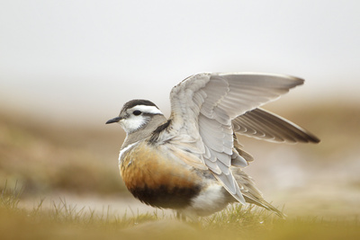 Adult Eurasian Dotterel (Charadrius Morinellus) with Wings Partially Raised, Cairngorms Np, UK Photographic Print by Mark Hamblin