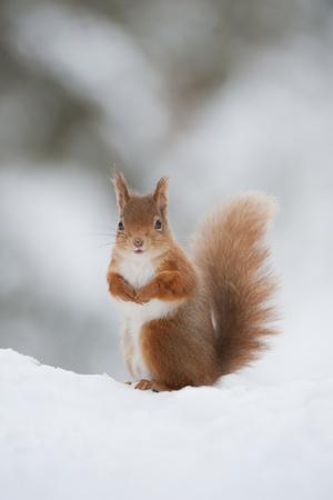 Red Squirrel (Sciurus Vulgaris) Adult in Snow, Cairngorms National Park, Scotland, February Fotografisk tryk af Mark Hamblin