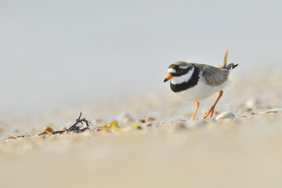Male Ringed Plover (Charadrius Hiaticula) on Beach, Outer Hebrides, Scotland, UK, June Photographic Print by Fergus Gill