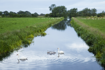 Mute Swans (Cygnus Olor) and Cygnets, King's Sedgemoor, Somerset Levels, Somerset, England, June Photographic Print by Guy Edwardes