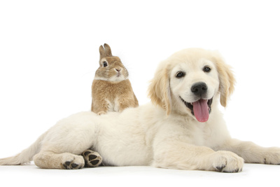 Netherland Cross Rabbit, Looking over the Back of Golden Retriever Dog Puppy, Oscar, 3 Months Photographic Print by Mark Taylor