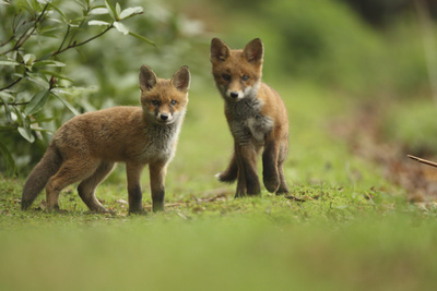 Red Fox (Vulpes Vulpes) Cubs, Hertfordshire, England, UK, May Photographic Print by Luke Massey