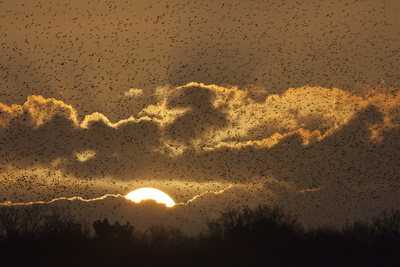 Starlings (Sturnus Vulgaris) Coming in to Roost at Shapwick, Somerset Levels, England, UK Photographic Print by Guy Edwardes