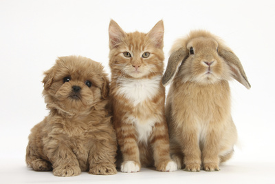 Peekapoo (Pekingese X Poodle) Puppy, Ginger Kitten and Sandy Lop Rabbit, Sitting Together Photographic Print by Mark Taylor