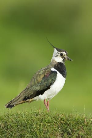 Lapwing (Vanellus Vanellus) Adult in Breeding Plumage, Scotland, UK, June Photographic Print by Mark Hamblin