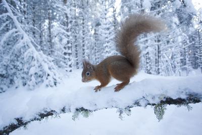 Red Squirrel (Sciurus Vulgaris) on Snow-Covered Branch in Pine Forest, Highlands, Scotland, UK Fotografisk tryk af Peter Cairns