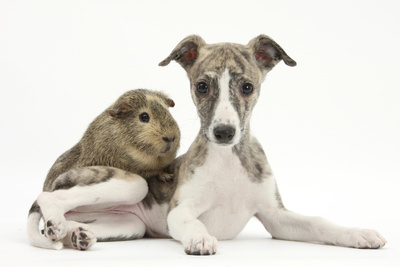 Brindle-And-White Whippet Puppy, 9 Weeks, with a Guinea Pig Photographic Print by Mark Taylor
