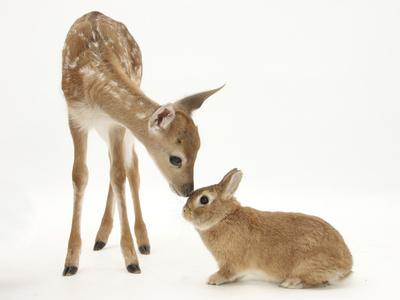 Fallow Deer (Dama Dama) Fawn and Sandy Netherland-Cross Rabbit Photographic Print by Mark Taylor