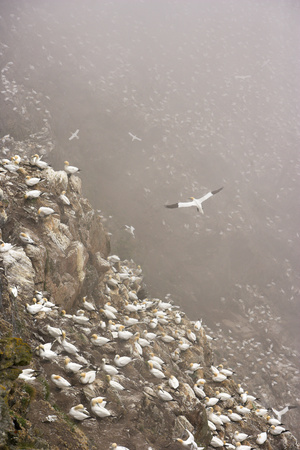 Northern Gannet (Morus Bassanus) Colony in Mist, Hermaness, Shetland Isles, Scotland, July 2009 Photographic Print by  Green