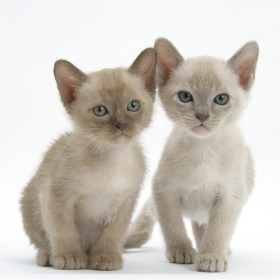 Two Lilac Burmese Kittens, 7 Weeks Photographic Print by Mark Taylor