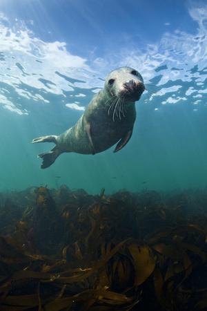 Grey Seal (Halichoerus Grypus) Portrait Underwater, Farne Islands, Northumberland, England, UK Photographic Print by Alex Mustard