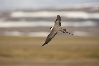 Long Tailed Skua (Stercorarius Longicaudus) in Flight, Thingeyjarsyslur, Iceland, June 2009 Photographic Print by  Bergmann