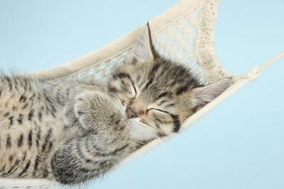 Cute Tabby Kitten, Stanley, 7 Weeks, Sleeping in a Hammock Photographic Print by Mark Taylor