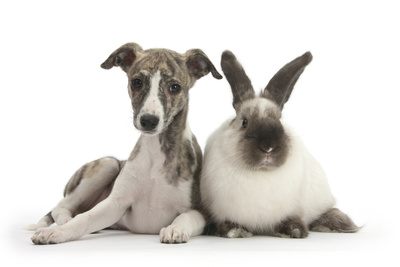 Brindle-And-White Whippet Puppy, 9 Weeks, with Colourpoint Rabbit Photographic Print by Mark Taylor