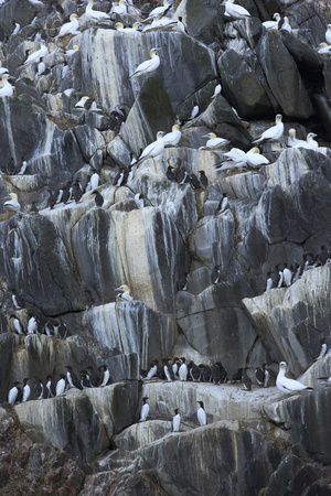 Northern Gannets (Morus Bassanus) and Common Guillemots (Uria Aalge) Hebrides, Scotland Photographic Print by  Green